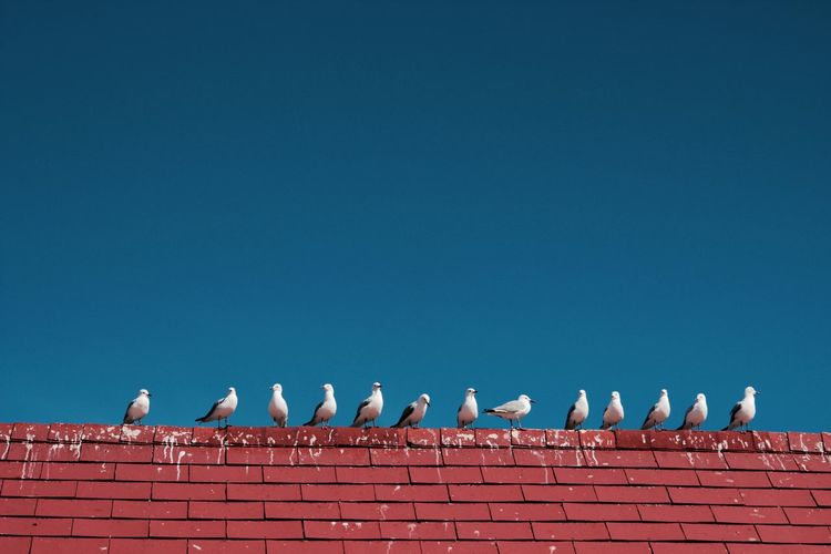 Low Angle View Of Seagull On Red Brick Wall Against Clear Blue Sky