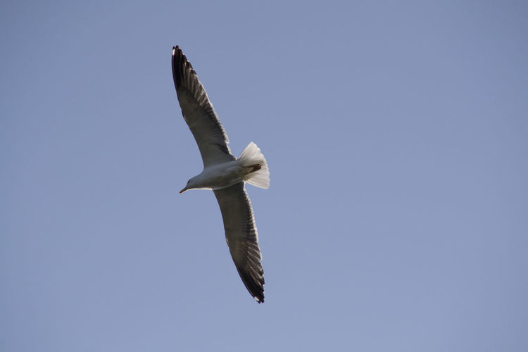 Beauty In Nature Bird Blue Clear Sky Day Flying Freedom Low Angle View Mid-air Nature No People Outdoors SEAGULL IN FLIGHT Sky Spread Wings