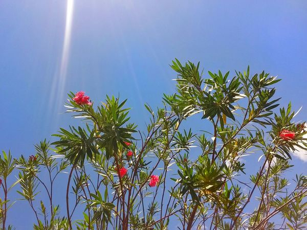 Summertime, a blue sky and some sunshine makes a perfect day Flower Blue Nature Sky No People Outdoors Tree Beauty In Nature EyeEmNewHere EyeEm Nature Lover Mezzomix Mix Yourself A Good Time Be. Ready.