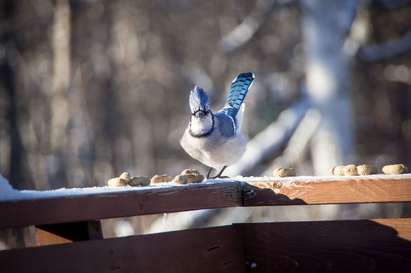 Blue jay perched making eye contact