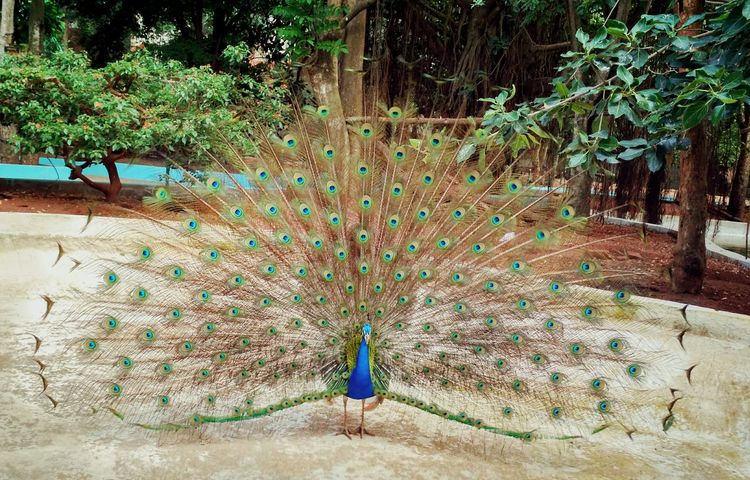 Peacock Dance ❤ Beauty In Nature Awesome_captures