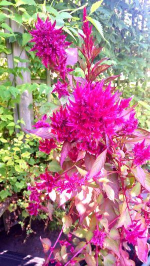 Flower Blossom Pink Color Plant Close-up Plant Life Blooming Garden Botany