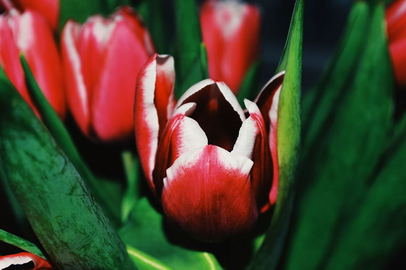 Plant Flowering Plant Flower Freshness Beauty In Nature Growth Close-up Red Petal Vulnerability  Fragility Flower Head Inflorescence Nature Green Color Day No People Plant Part Leaf Focus On Foreground Tulip Springtime Sepal My Best Photo
