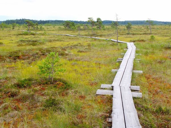 Duckboards at Torronsuo National Park, Finland Bog Day Duckboard Field Grass Green Color Growth Hiking Landscape Nature No People Outdoors Path Path In Nature Pathway Rural Scene Scenics Swamp Swamp Photos Torronsuo Tranquil Scene Tranquility Tree Tree Water