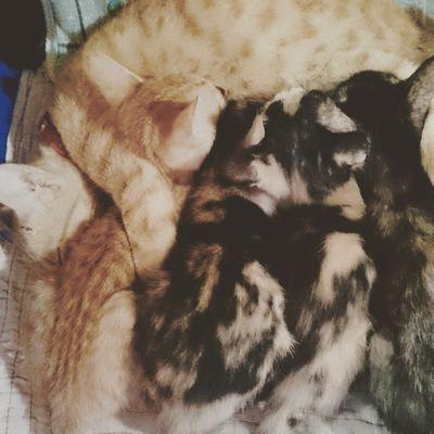 Breastfeeding is best for kitties. Perrysons FelineDomesticus AmericanBobtailCrossBreed Happyfurrs