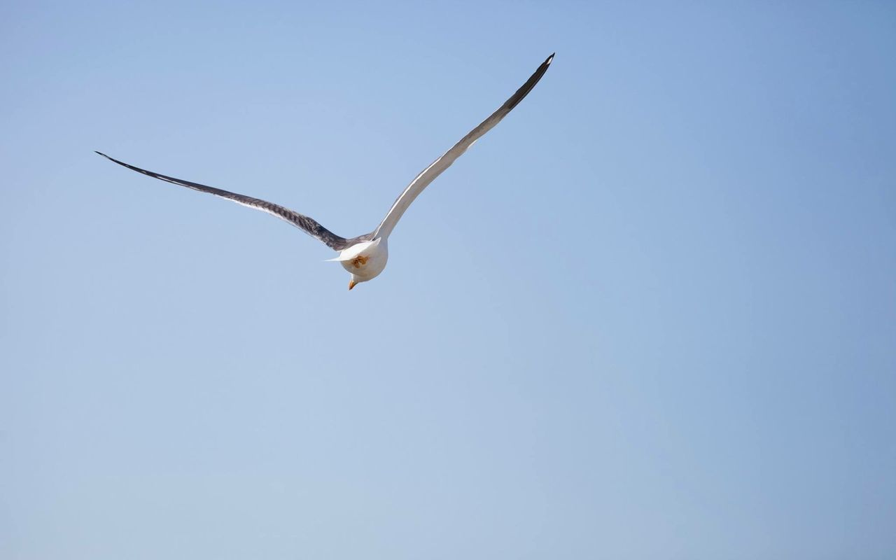 Low Angle Rear View Of Seagull Flying In Clear Sky