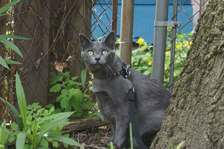 Russian Blue Gray Cat Taking Photos Hanging Out Green Eyes Grass Sony A5000 Mirrorlessrevolution Western New York  Startled Taking It All In