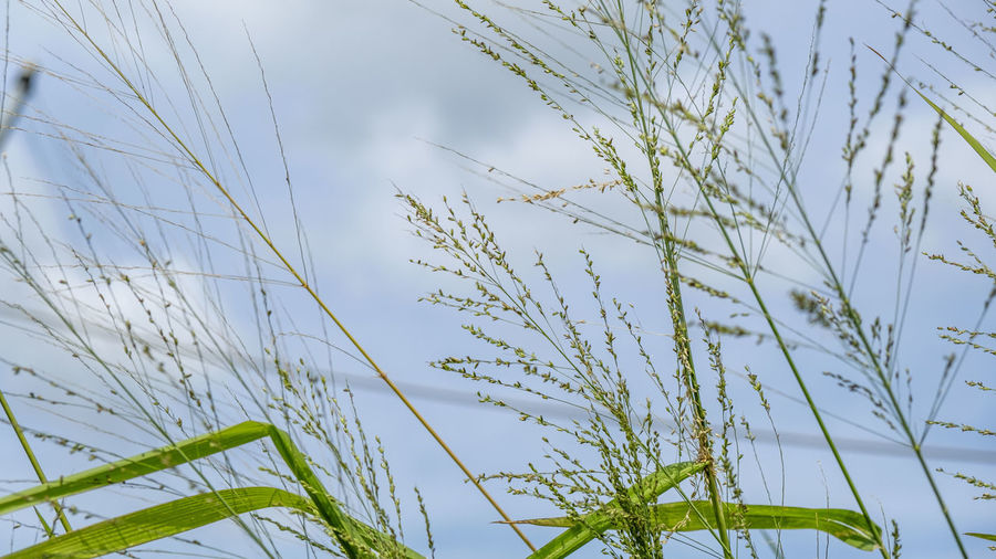 Close-up of stalks against blue sky