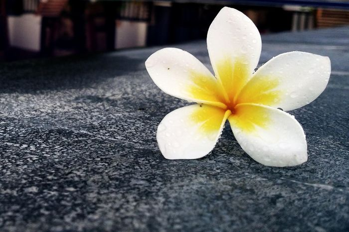 Flower Petal Close-up Yellow Freshness Frangipani Fragility Outdoors Day Flower Head No People Beauty In Nature Nature Food Minimalist Photography  Art Is Everywhere Fine Art Photography Personal Perspective Perspective Droplets Of Rain Drops Of Water DropletsCreators IfYouLeave