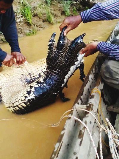 Wild Crocodile Captured Crocodile Kinabatangan River Wildlife & Nature Sabah River Dangerousanimal EyeEm Nature Lover Animal Photography