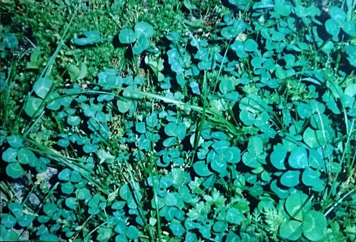 4 Leaf Clovers, How many do you see !!! (6 Count)