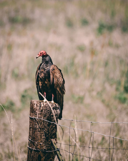 A Turkey Vulture is perched on a wooden fence post at the Bear River Migratory Bird Refuge in Northern Utah. Turkey Vulture Utah Animal Animal Themes Animal Wildlife Animals In The Wild Bird Bird Of Prey Buzzard  Focus On Foreground Nature No People One Animal Outdoors Perching Post Turkey Vulture Perched Turkey Vultures Vulture Wooden Post Zoology