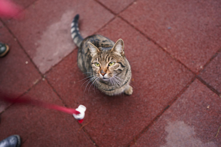 High angle view of tabby cat on footpath