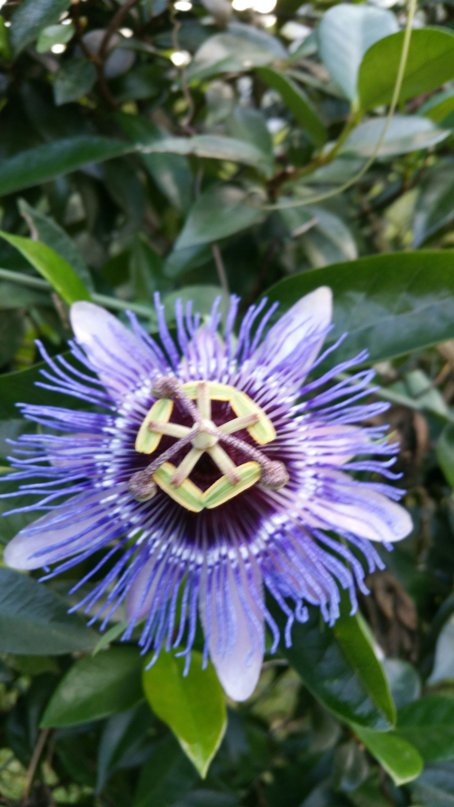 flower, purple, freshness, petal, fragility, flower head, growth, close-up, beauty in nature, blooming, focus on foreground, single flower, nature, pollen, plant, in bloom, blue, passion flower, leaf, high angle view