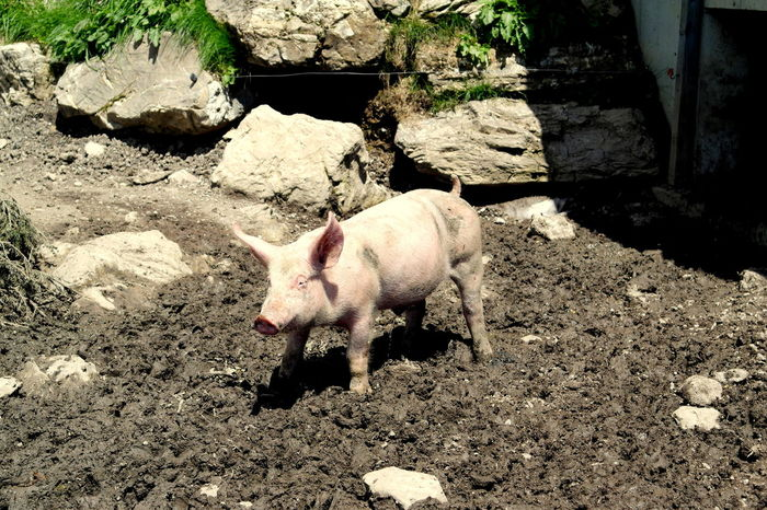 Animal Themes Animals Baby Piglet Bayern Germany Domestic Animals Growth Mudd Pig Rocks Summer