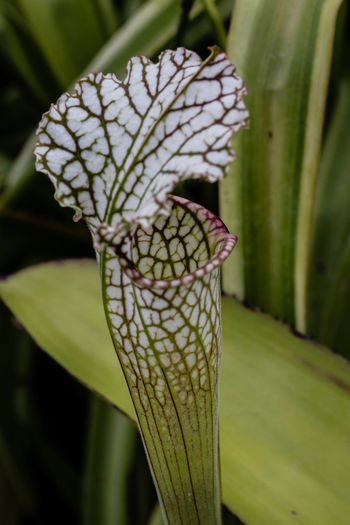 Sarracenia leucophylla, also known as the crimson pitcherplant, purple trumpet-leaf or white pitcherplant, is a carnivorous plant in the genus Sarracenia. Sarracenia leucophylla has nodding, brownish-red flowers and clusters of erect, hollow, pitcher-like leaves. Each leaf is colored at top with reddish-purple veins on a white background and topped by an erect, roundish, wavy-edged hood. https://en.wikipedia.org/wiki/Sarracenia_leucophylla Green Color Close-up Leaf Nature Beauty In Nature Flower Sarracenialeucophylla EyeEm Nature Lover