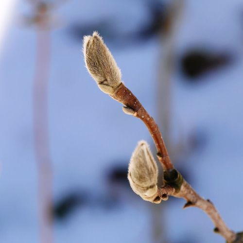 Close-up of pussy willow