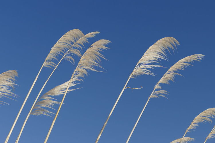 Low Angle View Of Grass Against Clear Blue Sky