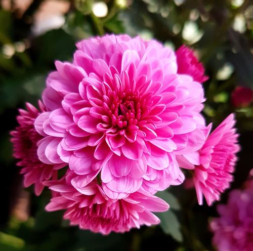 Flower Pink Color Petal Beauty In Nature Flower Head Fragility Nature No People Close-up Blooming Flower Photography Flowers Beauty In Nature