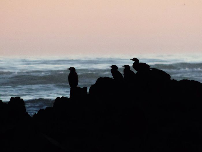Birds Watching Silhouettes Of Birds Birds Sitting On Rocks Bird Silhouettes Sea In Background Birds On Rocks At Sunset Looking Same Direction
