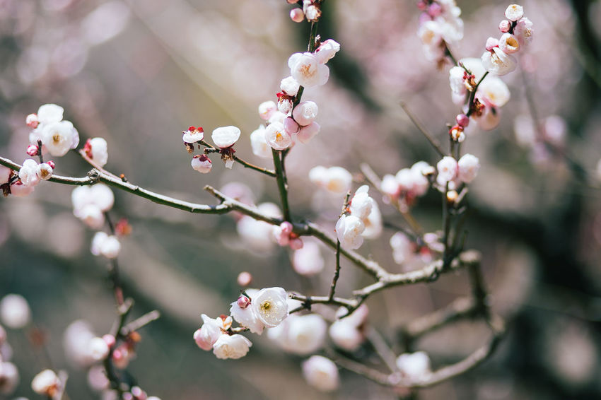 Beautiful Japan Sakura Tranquility Travel Beauty In Nature Beauty In Nature Blooming Blossom Botany Branch Canon Close-up Flower Flowers Fragility Freshness Growth Nature Petal Pink Color Springtime Tourism Tree
