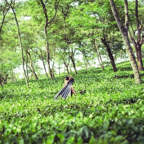 Tea Garden Kotowali Banglaw Streetphotography Chittagong Fuji Xe1 Photo Green Trees Instragram Life Worker