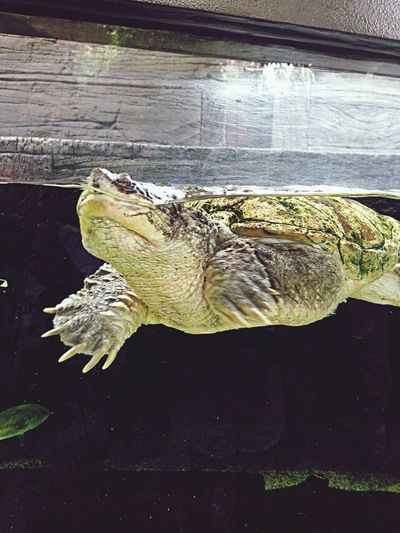 Snapping turtle ?? at river safari singapore Animals Hello World Check This Out Picturearoundtheworld