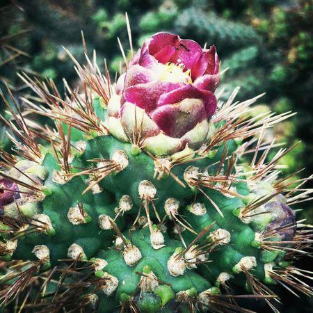 Chollas Cactus Beauty