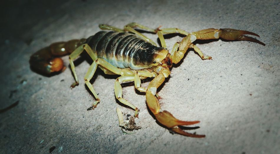 Friendly Creature Scorpion Badass Arachnid Poison Adrenaline