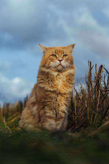 Cat in the Grass Animal Themes Close-up Day Domestic Animals Domestic Cat Feline Grass Looking At Camera Mammal Nature No People One Animal Outdoors Pets Portrait Sitting Sky