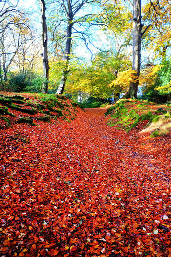 Tree Plant Autumn Change Leaf Plant Part Tranquility Land Beauty In Nature Nature Tranquil Scene Day Scenics - Nature Growth Forest No People Orange Color Red Outdoors The Way Forward Leaves WoodLand Fall New Forest, Hampshire. UK Pathway In The Forest