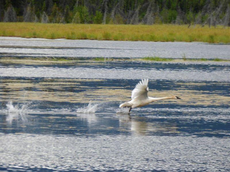 Trumpeter Swan Alaska
