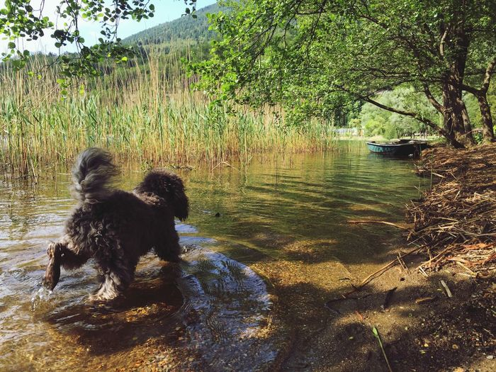 Ciuffo Lovely Weather Swimming Quality Time Enjoying The Sun Beautiful Day Relaxing Dog Poodle Lake Italy