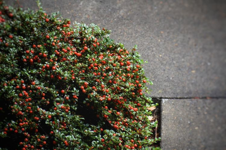 Shrub of berries near pavement