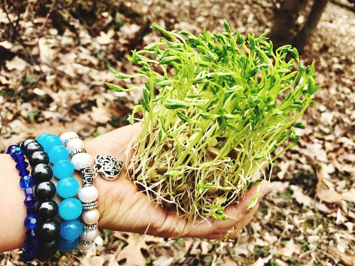 Sprouts Sprouts New Hand Holding Sprouts Hand With Pearl And Stone Bracelet Hand With Bracelets And Sprouts Real People Green Color Day Outdoors Human Hand Growth Women Close-up Human Body Part Freshness Organic Food Sprouting Seeds Sprouting Lentils lenti