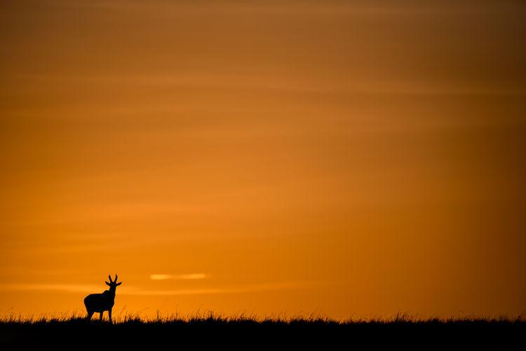 Animal Themes Animals In The Wild Beauty In Nature Dusk Golden Hour Nature One Animal Safari Scenics Silhouette Sky Sunrise Sunset