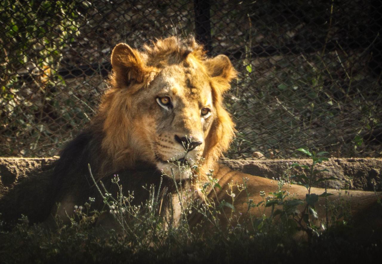 one animal, animals in the wild, animal themes, wildlife, day, animal wildlife, outdoors, mammal, lion - feline, no people, relaxation, nature, safari animals, close-up