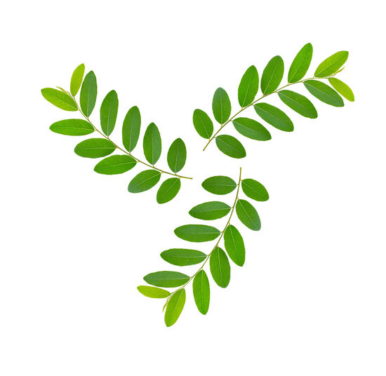 Leaves isolated on white background Leaf Isolated Leaves White Green Background Tea Plant Nature Summer Natural Closeup Fresh Spring Healthy Tropical Growth Herbal Branch Texture Foliage Organic Young Frame New