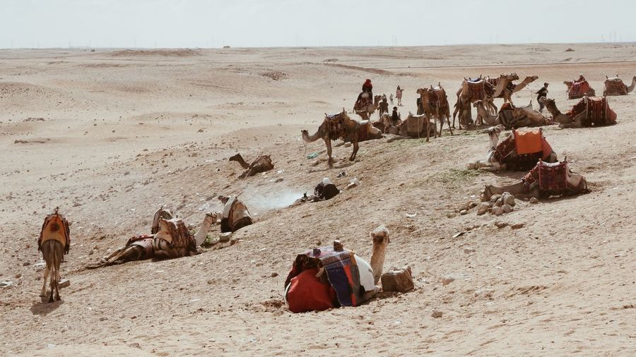 Camels of Cairo
