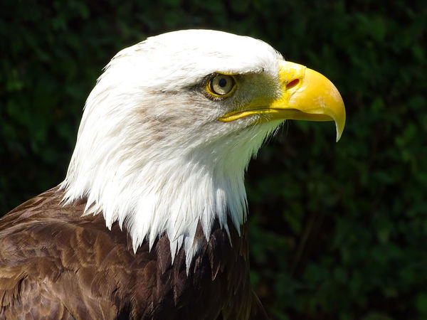 American Eagle Bald Eagle Bald Eagle Portrait Animal Themes Animal Wildlife Animals In The Wild Bald Eagle Bald Eagle Close-up Bald Eagles Beak Bird Bird Of Prey Close-up Day Focus On Foreground Nature No People One Animal Outdoors White Color