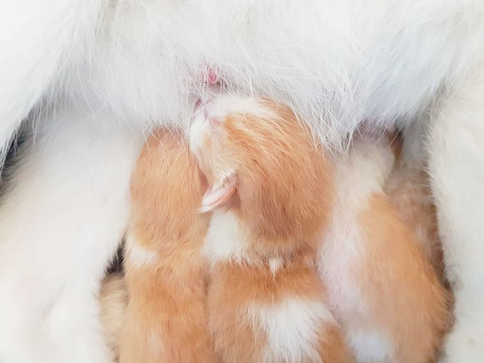 Close-up Macro Cat Cat♡ Kitten White Brown Nursing Baby Nursing Cat Feline Mammal Animal Pets Domestic Animals Indoors  No People Day One Day Old Family Cat Young Mother Milk Cute Cats Adorable Cat  Adorable Cat