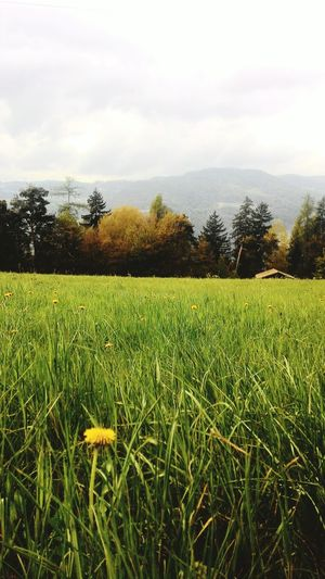 Growth Agriculture Tree Field Grass Crop  Nature Tranquility No People Cloud - Sky Rural Scene Sky Green Color Outdoors Scenics Beauty In Nature Day Cereal Plant Freshness Soccer Field Alps Italianlandscape EyeEm Nature Lover Montagnes 🌲🍃 Italian Alps