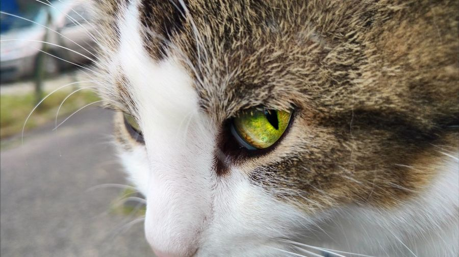 Cat eye.... One Animal Eye Portrait Looking At Camera Close-up Pets Animal Themes Domestic Cat Domestic Animals Outdoors EyeEm Best Shots Eyes Watching You Eyestoriestudio Eyes Are Soul Reflection EyeEmBestPics EyeEm Gallery Eyeemphotography EyeEmbestshots The Portraitist - 2017 EyeEm Awards Cats Of EyeEm Live For The Story