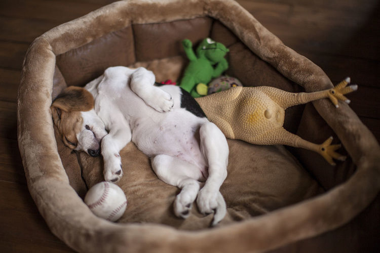 Cute little beagle puppy sleeping in dog bed with its toys. Adorable Animal Themes Basket Beagle Bed Chicken Day Domestic Animals High Angle View Indoors  Lop-eared Mammal No People Puppy Sleeping Toy