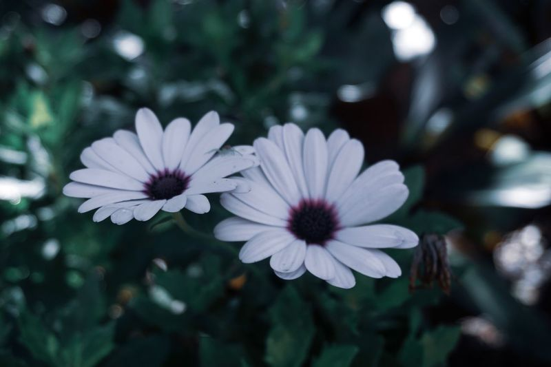 If you can spot it, you have spidey eyes Flowering Plant Flower Plant Freshness Petal Vulnerability  Fragility Flower Head Inflorescence Growth Beauty In Nature Close-up Osteospermum Nature Focus On Foreground White Color No People Pollen Day Outdoors