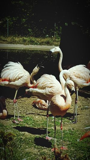 Flamingos Flamingos In Water Flamingos Up Close Flamingos In The Zoo Flamingos Fighting Zoo Northern California Pinkish