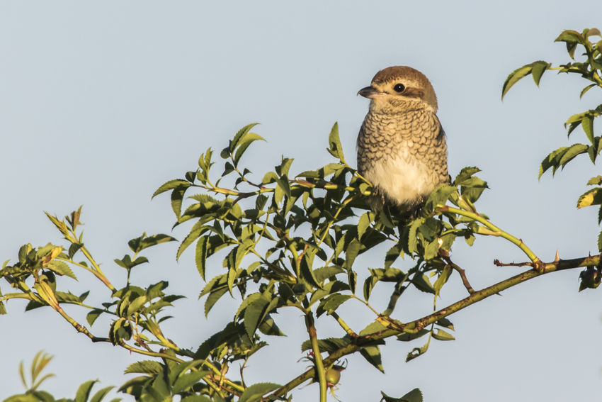 A red-backed shrike on a branch Hunter Lanius Collurio, Nature Sitting Songbird  Vantage Point Animal Bird Birds Branch Branchlet Claws Feather  Feathering Fly Catcher, Hunt Landscape Outdoors Plumage Red-backed Shrike Shrike Shrikes Wildlife