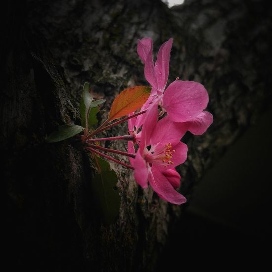 Flower No People Close-up Growth Nature Flower Head Fragility Black Background Beauty In Nature Outdoors Background Backgrounds Nature Tree Crab Apple Blossom Crab Apple Tree Crab Apple Flower