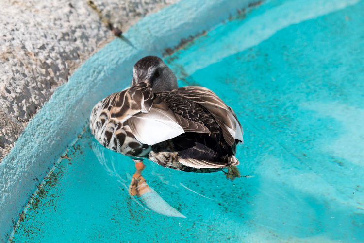 High angle view of duck swimming in pool