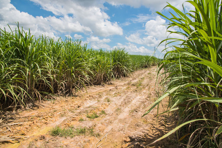 Cloud - Sky Country Country Life Countryside Food Landscape Nature Plant Sky Sugar Sugarcane Sugarcane Field Sweet Sweet Food